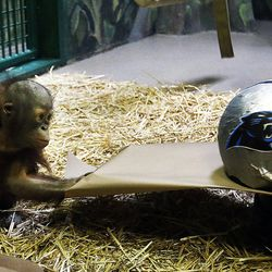 Tuah, an orangutan at Salt Lake City's Hogle Zoo pulls a piece of cardboard holding a Carolina Panthers helmet in his enclosure in on Thursday, Feb. 4, 2016. Tuah picked the Carolina Panthers to beat the Denver Broncos in Super Bowl 50, which will be played Sunday at Levi's Stadium in Santa Clara, California. For the past eight years, an animal at Hogle Zoo has correctly predicted the winner of the Super Bowl.