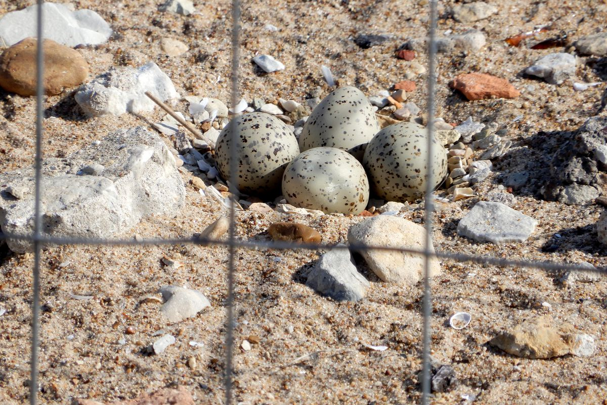 In late May, there were four eggs in Monty and Rose's clutch at Montrose Beach; on Saturday, the three chicks that fledged had meaningful names unveiled. Credit: Brad Semel/Illinois Department of Natural Resources