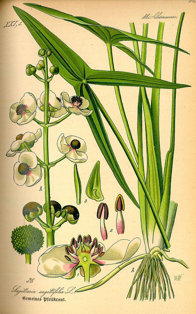 a scientific illustration of the katniss plant