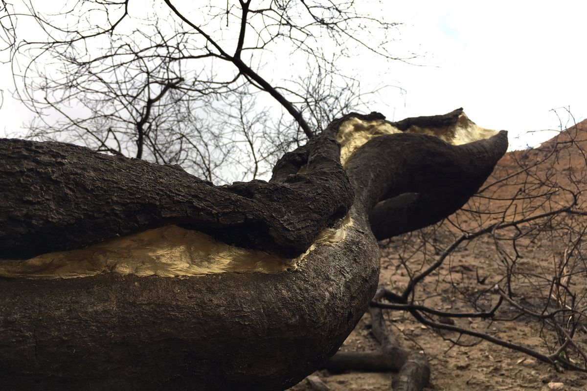 Scorched trees in La Tuna Canyon will be 'painted' gold - Curbed LA