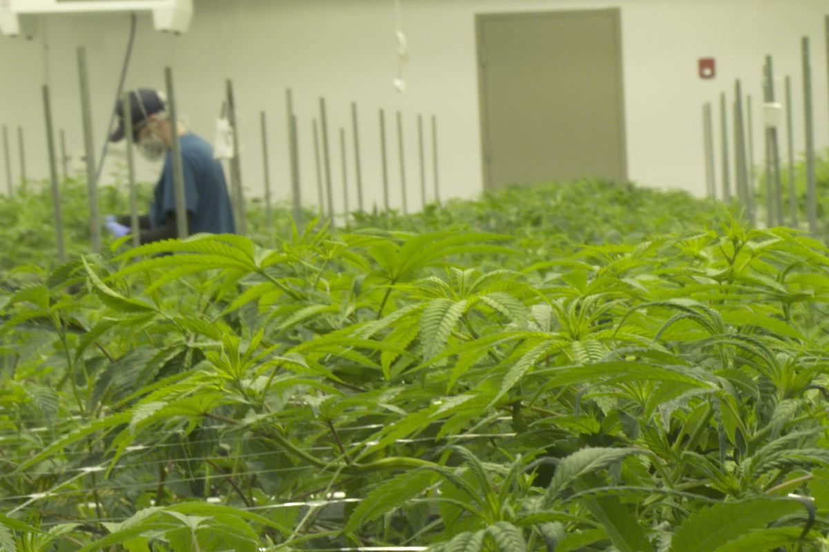 Cannabis - Chicago Sun-Times