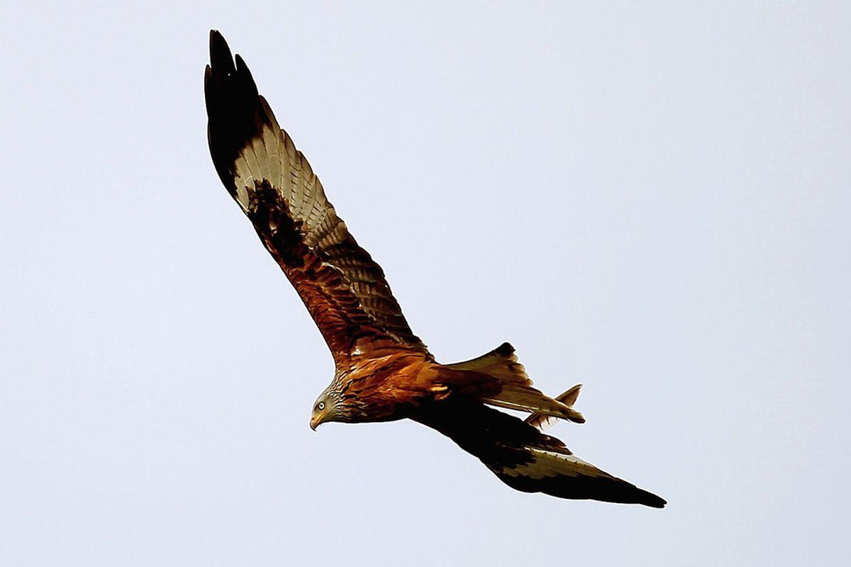 A red kite, close relative of the extinct Cape Verde Kite.