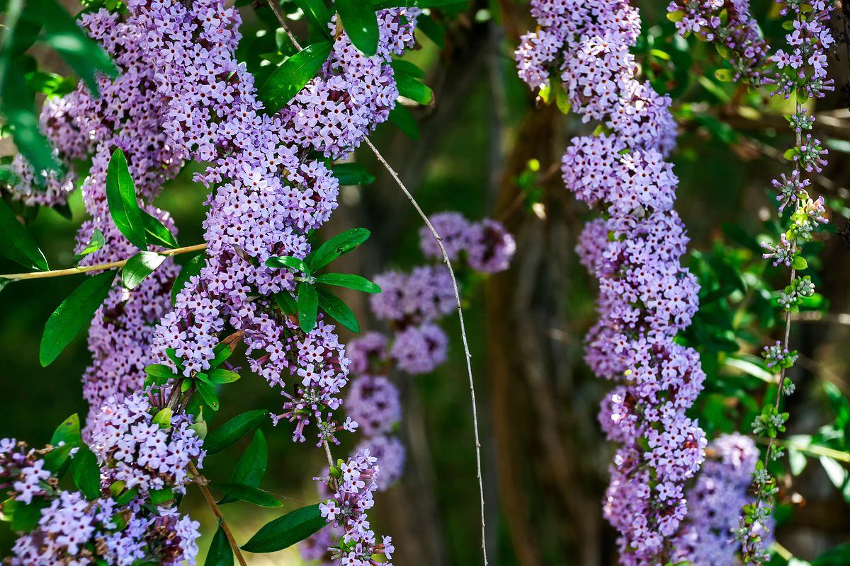 Fountain Butterfly Bush