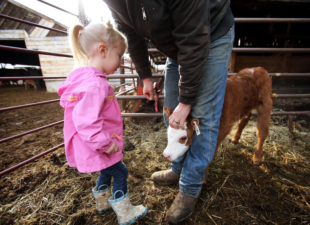 Laynie Hicken tries to decide if she wants to pet a small calf after her dad Addison Hicken put an ear tag on it as he works on the farm in Heber on Wednesday, March 11, 2020.