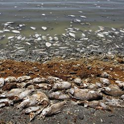 """This Sept. 8, 2012 photo shows dead fish along the Salton Sea shoreline in Southern California. The South Coast Air Quality Management District posted an update in which it acknowledged the possibility that dead fish at the Salton Sea are the source of the rotten-egg smell reported all day Monday. The update noted, however, that """"it is highly unusual for odors to remain strong up to 150 miles from their source."""""""