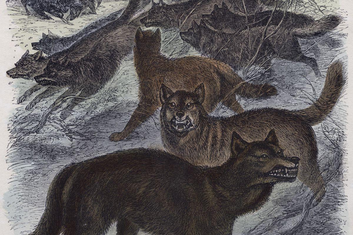 Timber Wolf (Canis lupus), Engraving, circa 1860