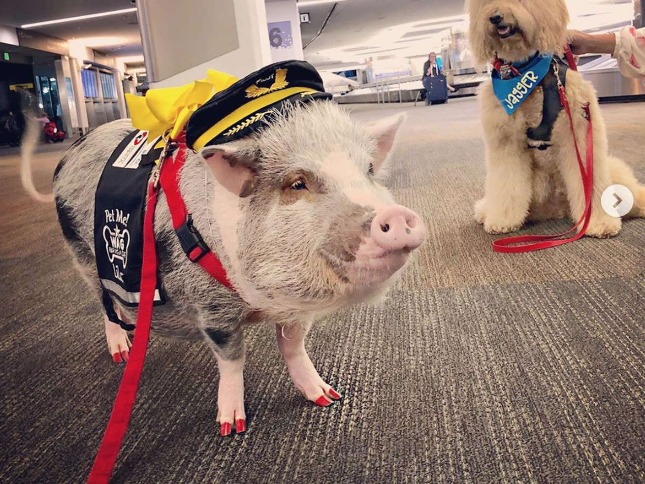 This Airport's Therapy Pig Has Thawed My Cold, Dead Heart