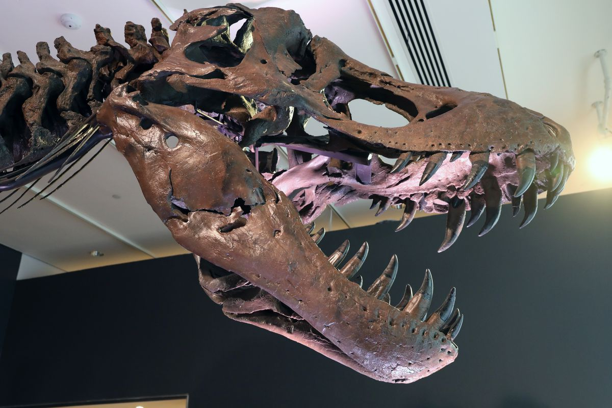 Christie's Puts Tyrannosaurus Rex Skeleton Known As Stan On Display Ahead Of Its Auction