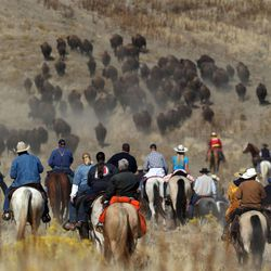 Horseback riders move bison from the southern tip of Antelope Island to the handling facility located at the parks northern end at the 27th annual Bison Range Ride and Roundup on Friday, Oct. 25, 2013.