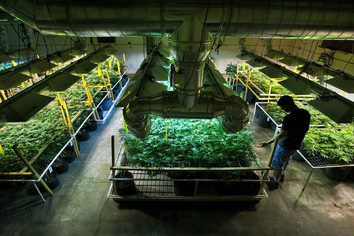 A marijuana business owner tends to his plants.