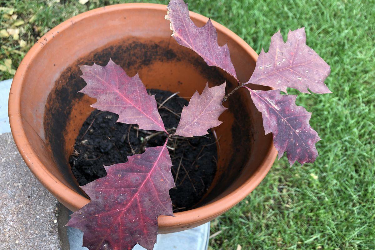 Oak trees: an ambassador for biodiversity.