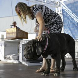 Martha, a Neapolitan mastiff, competes while being escorted by Shirley Zindler in the World's Ugliest Dog Contest at the Sonoma-Marin Fair on Friday, June 23, 2017, in Petaluma, Calif. Martha was named the winner of the contest.