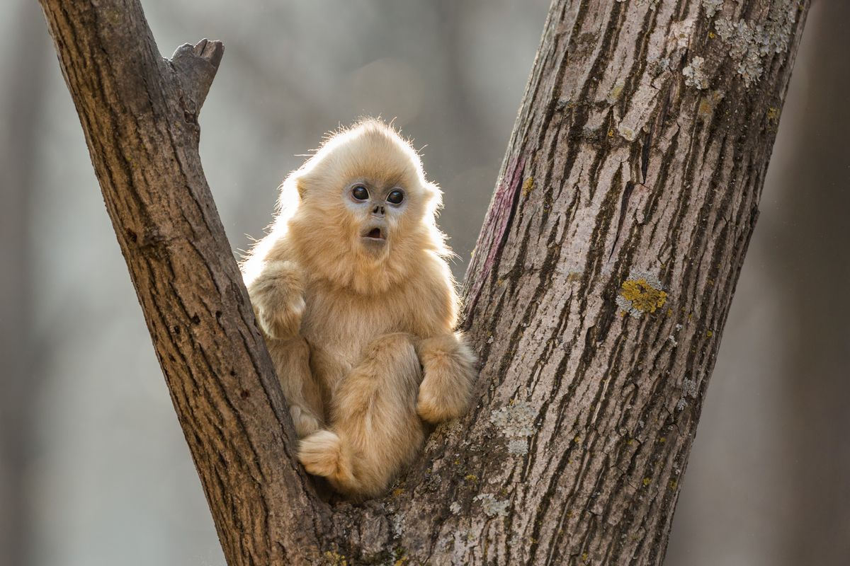 """The younger of the golden snub-nosed monkeys (pictured) gets all the parental attention in """"Born in China."""" 