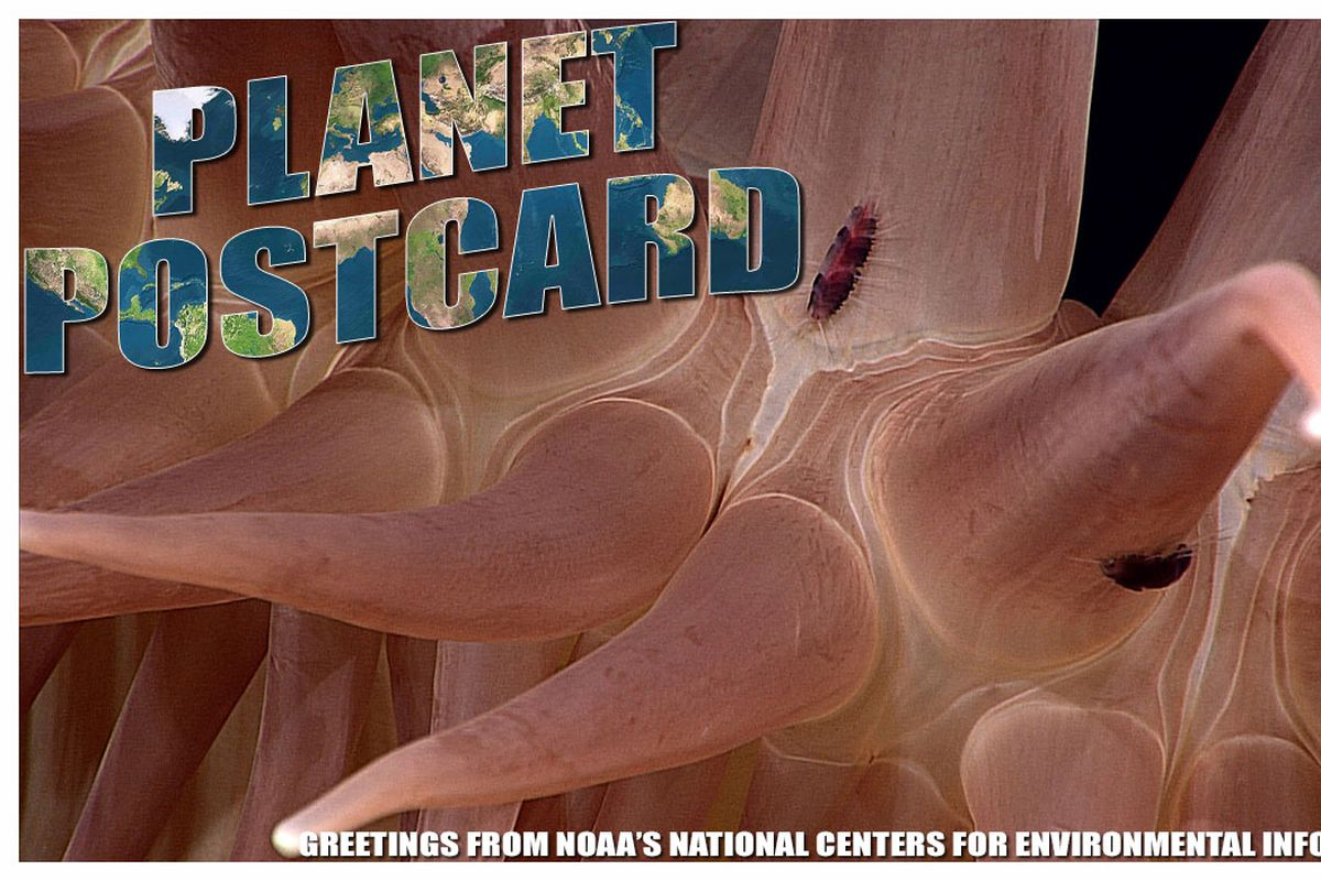This week's Planet Postcard features an Annelid. Image by the National Centers for Environmental Information.