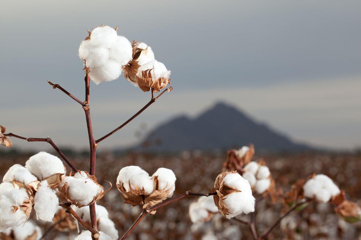 Cotton (Shutterstock)