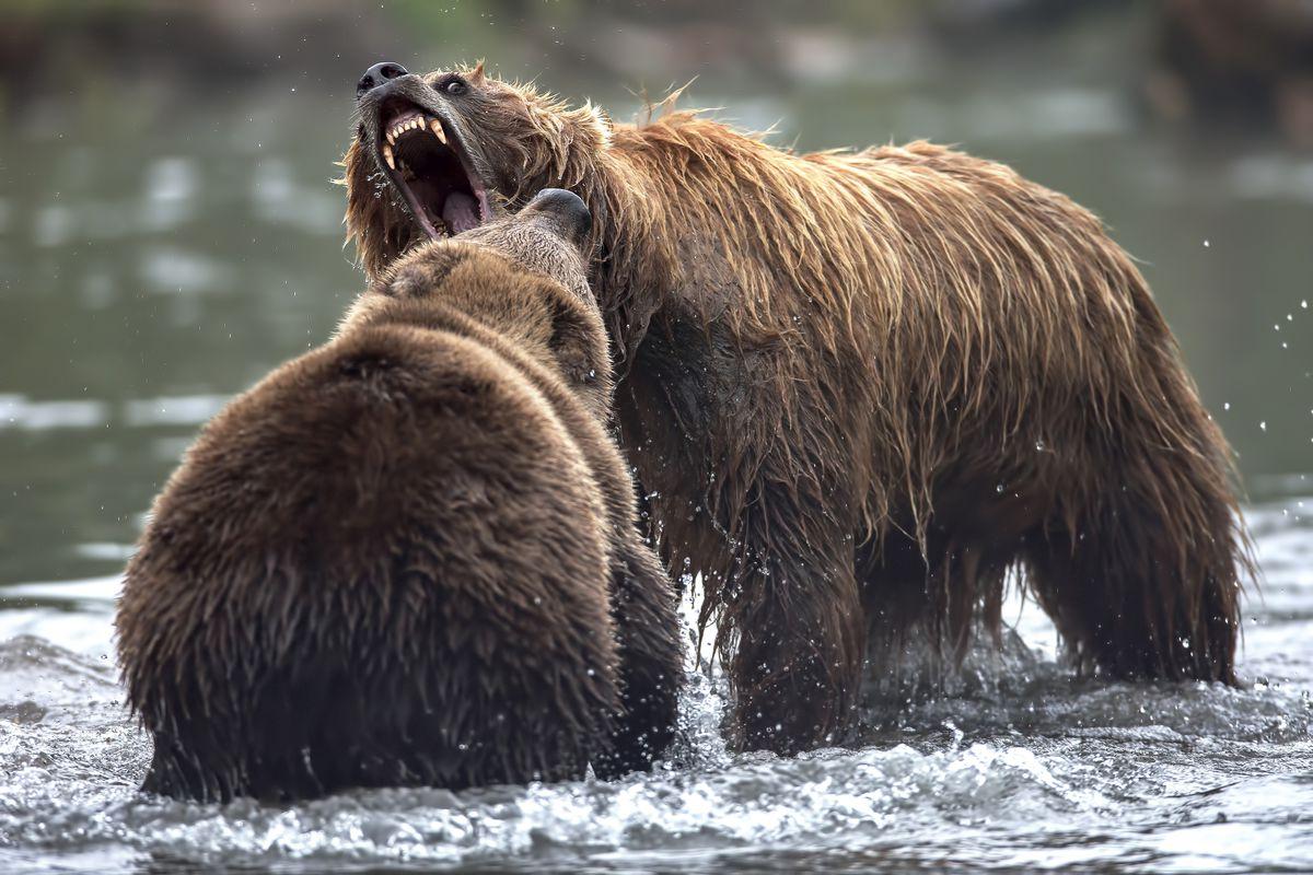 Brown bears (Ursus arctos beringianus) fight in Kurile Lake. Kamchatka peninsula. Russian Federation. Eurasia