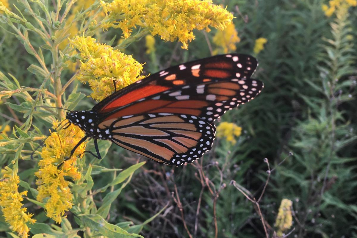 Monarchs in various stages, a description of fall color and a note on deer harvest by bowhunters are amont th…