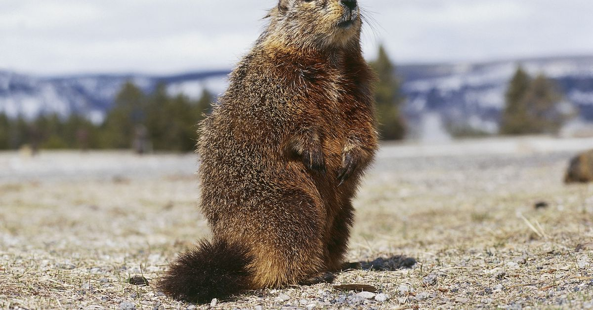 For marmots, being more social means dying earlier
