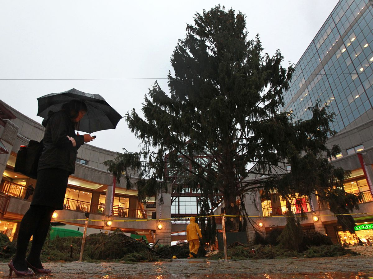 A large Christmas tree in a public square, and the tree has not been decorated, and there is a lone person with an umbrella looking at it.