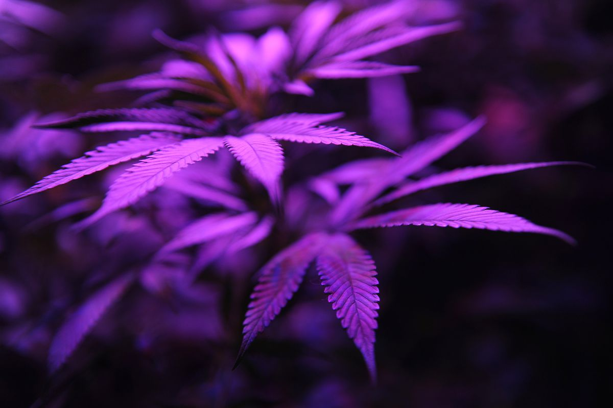 Purple marijuana plants.