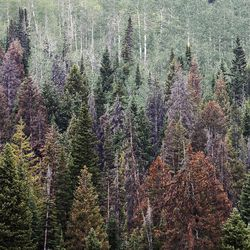 Dead and dying trees are visible in the Uinta National Forest, July 13, 2012.