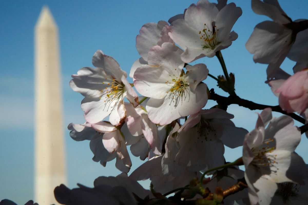 Cherry Blossoms Bloom In Washington DC