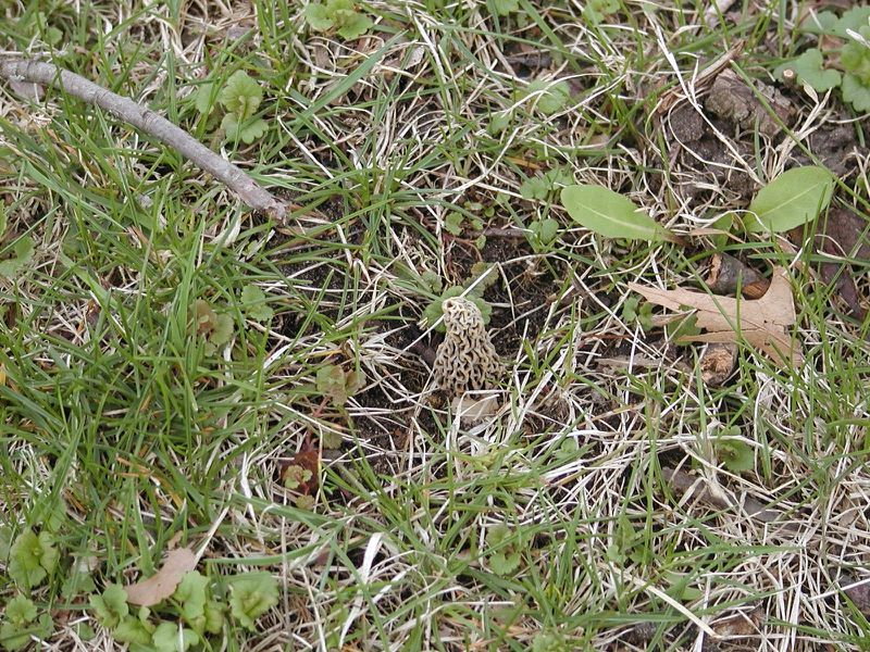 As this photo shows, morels can be hard to spot, even in what seems like easy places. Credit: Dale Bowman
