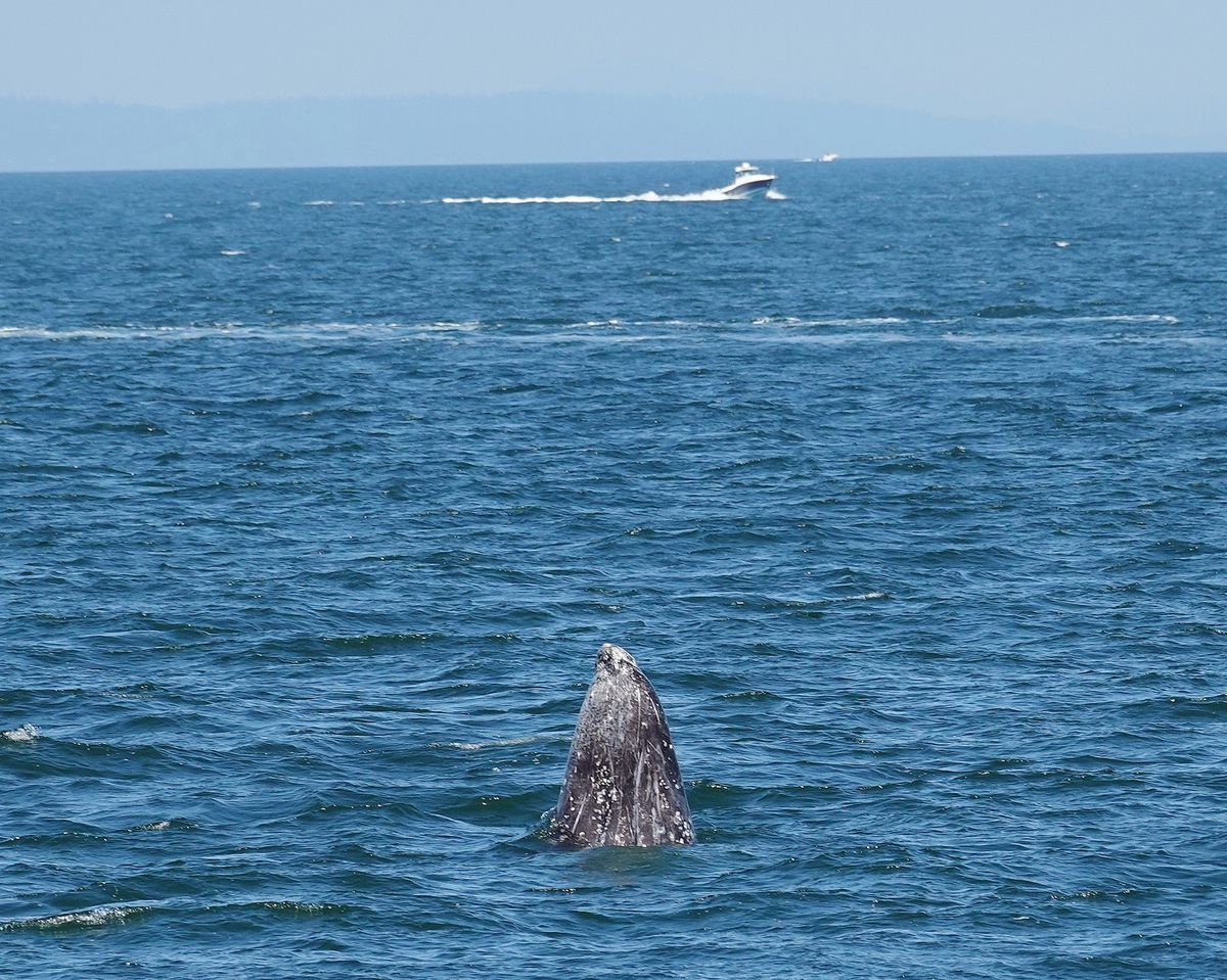 The head of a marine mammal (a gray whale) peeks out of blue water. In the far distance, there's a small white boat.