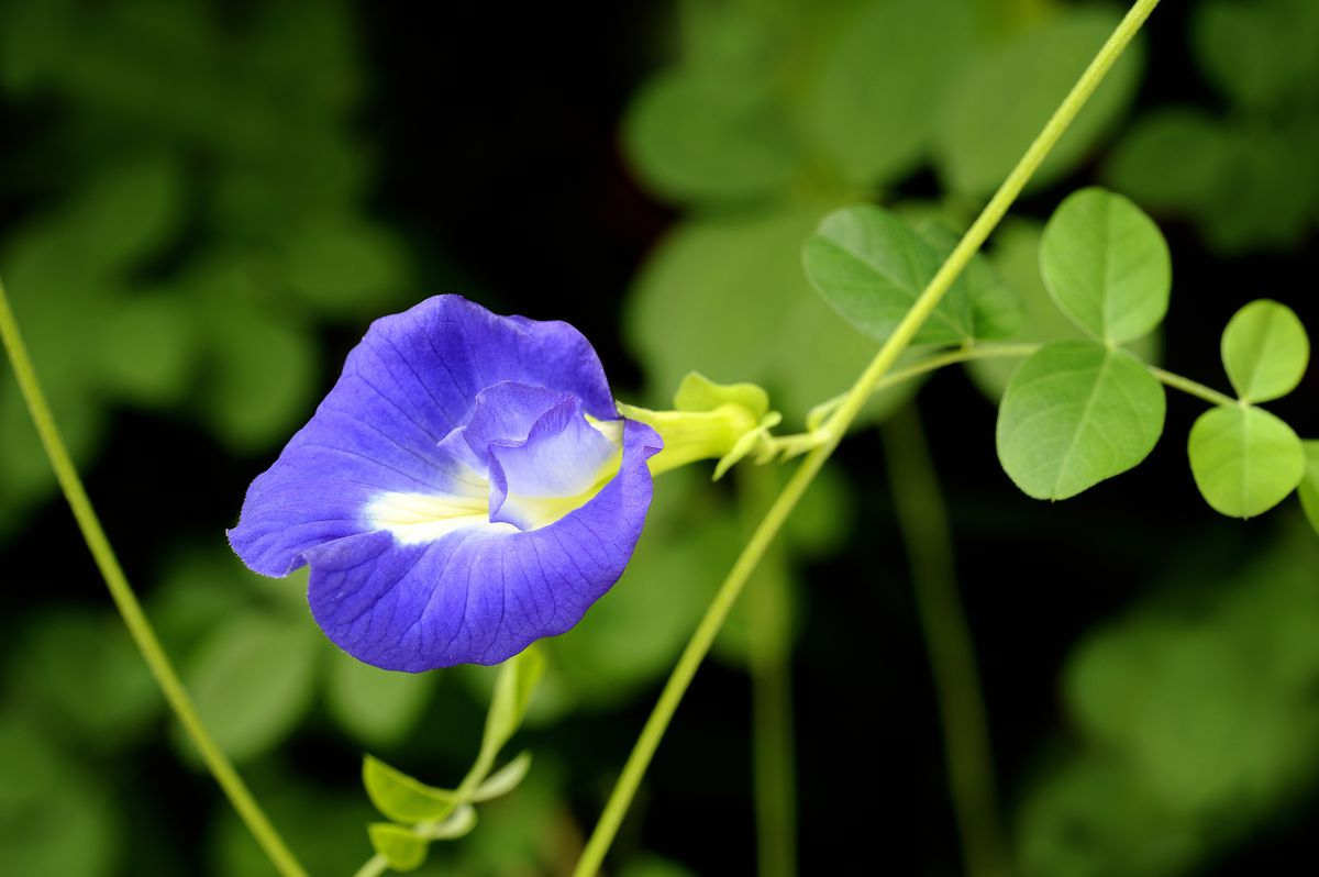 Meet The Flower That Naturally Colors Drinks Blue Eater