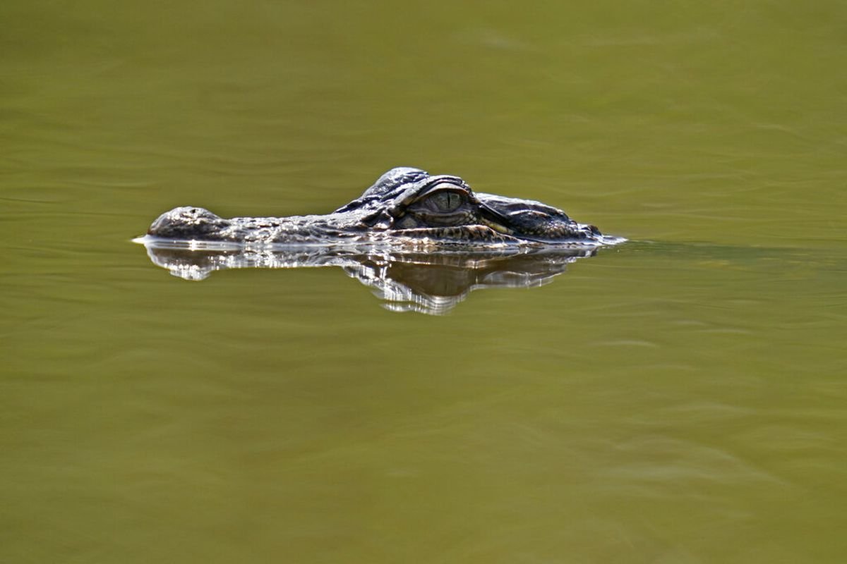 An alligator is seen on Avery Island, Louisiana.