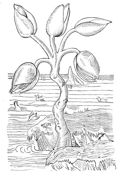 1280px PSM V04 D585 The goose tree - The barnacle goose is one of nature's most truly metal creations