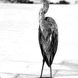 A blue heron stands as if posing for a photo at FinchBay Hotel on Santa Cruz.