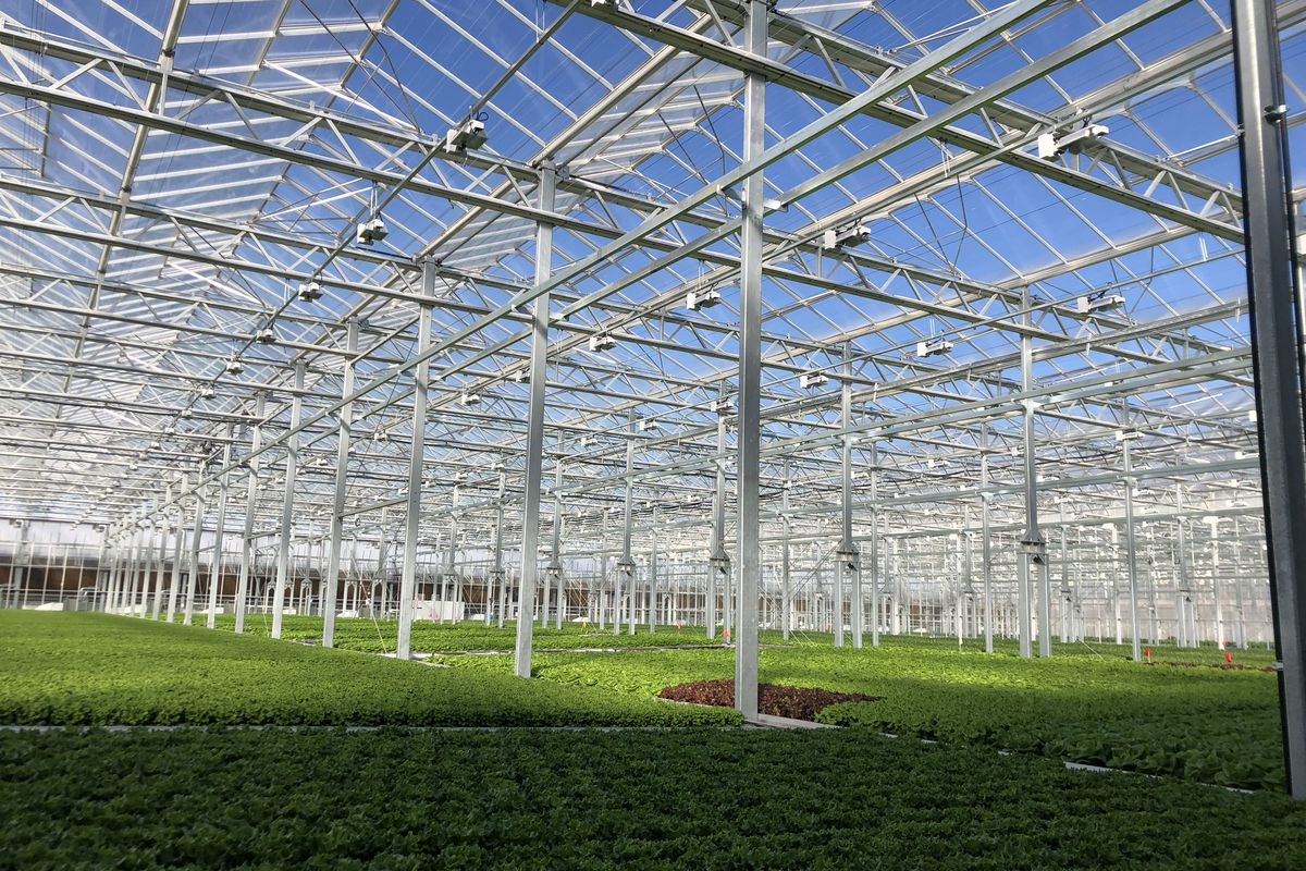 A large glass roof with scaffolding protects a large field of lettuce.