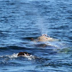 This image provided April 17, 2012, by Capt. Dave's Dolphin and Whale Safari shows a gray whale entangled in netting in the waters off the coast of Southern California April 17, 2012. Rescuers say they were able to loosen some of the fishing line that entangled this 40-foot gray whale off the Southern California coast before ending rescue operations for the day. Rescue operations are set to resume Wednesday April 18, 2012.