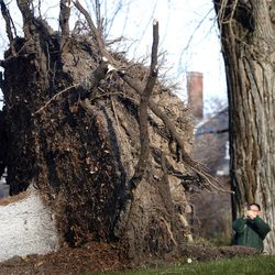 A passerby takes a photograph of a fallen tree in the Avenues in Salt Lake City on Thursday, December 1, 2011.