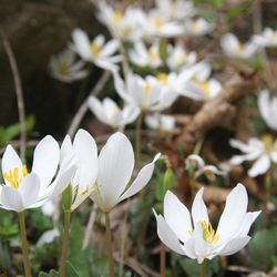 In this April 1, 2006 photo, the flowering plant Bloodroot used now primarily for its ornamental is seen near New Market, Va.
