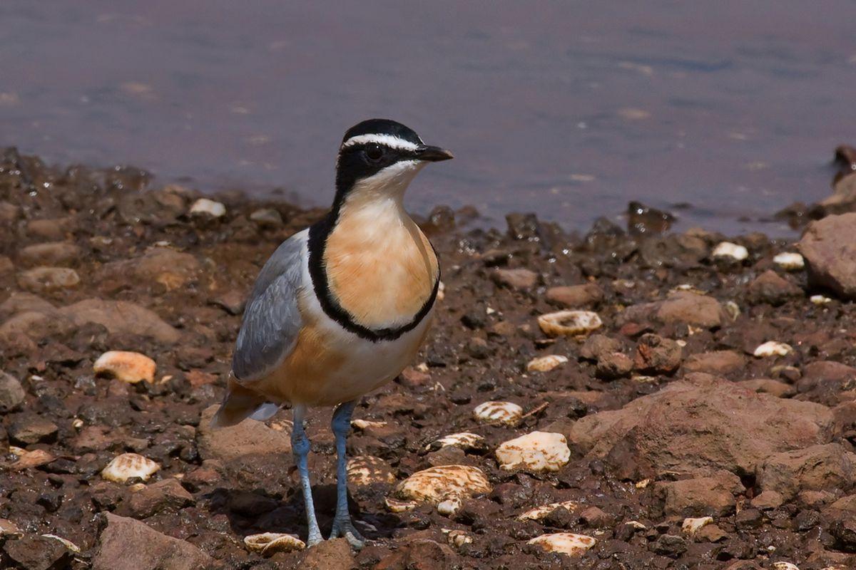 egyptian plover bird (shutterstock)