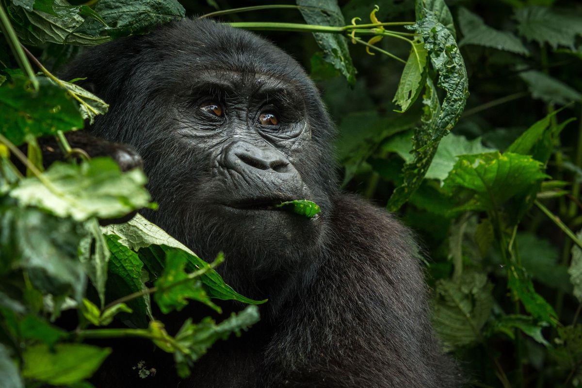 Gorilla beringei beringei in Bwindi Impenetrable Forest in Uganda.