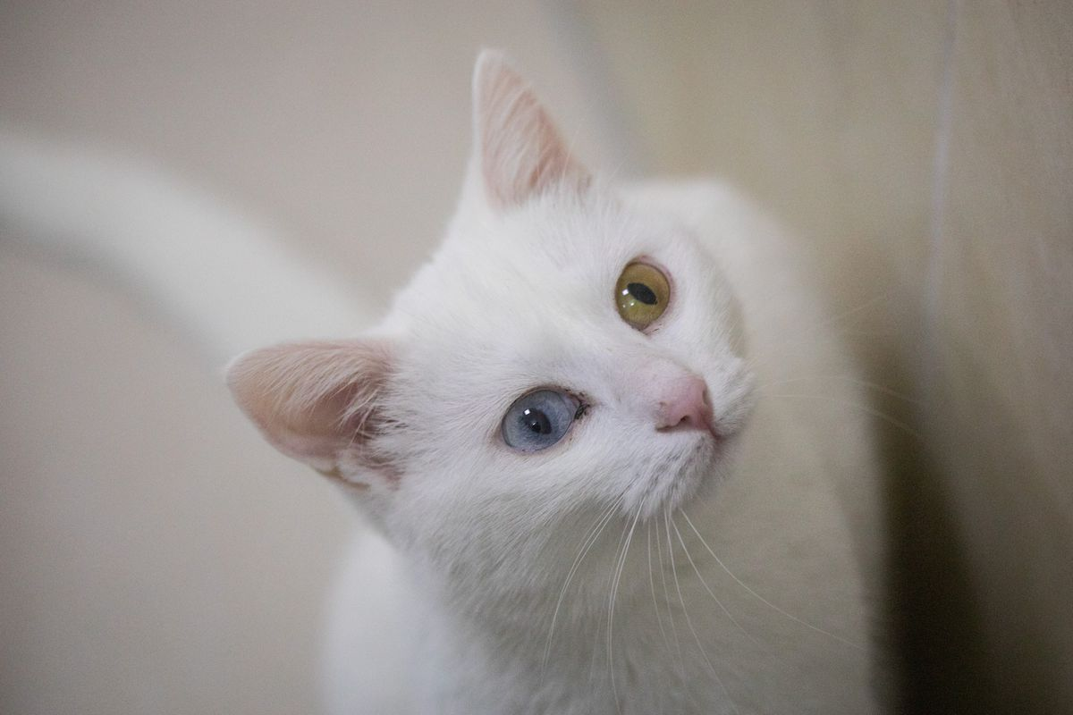 Research Center Breeds Turkey's Famous Van Cat