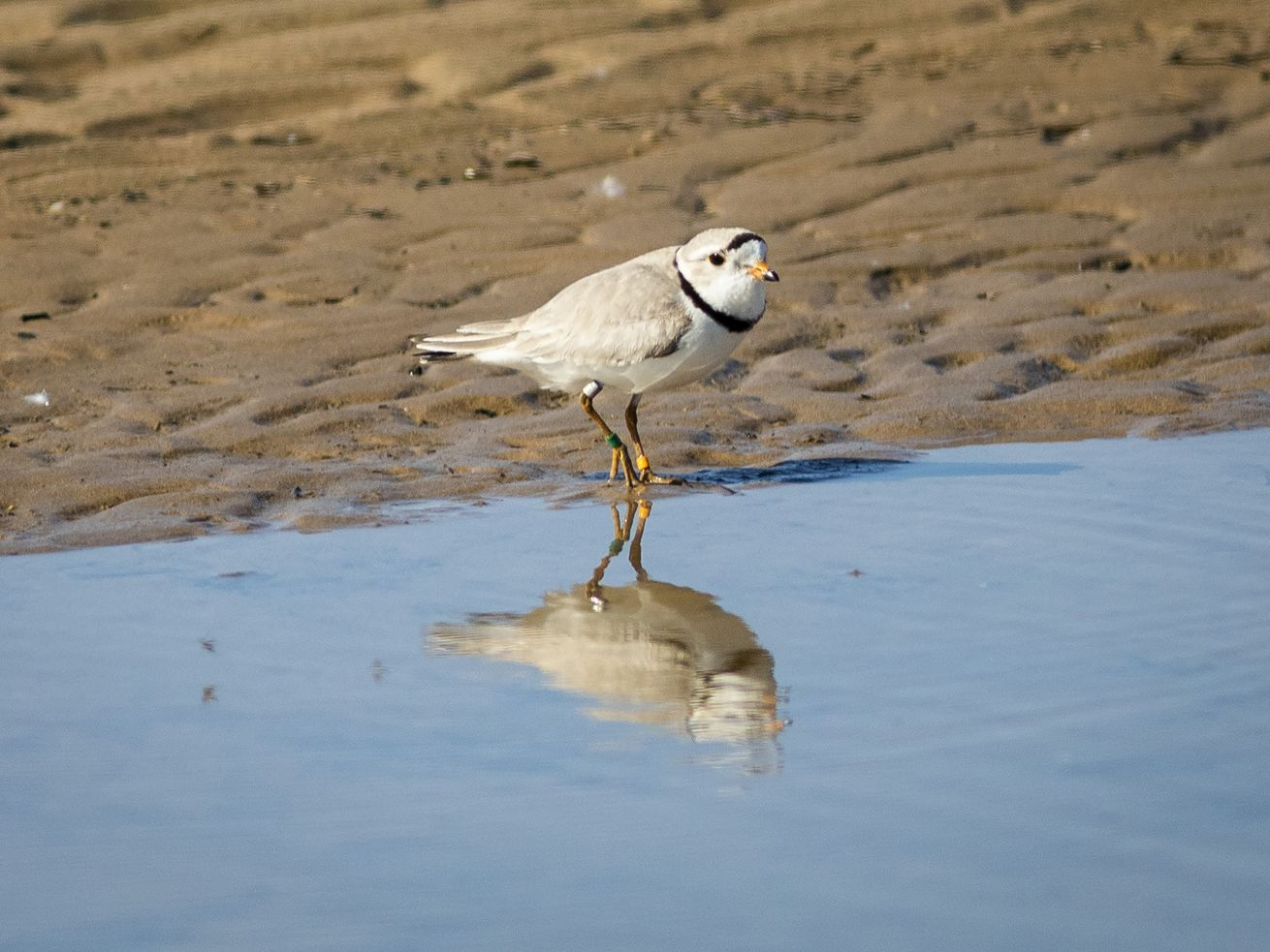 A piping plover walks in the area sectioned off for the endangered species on Montrose Beach in June 2019.