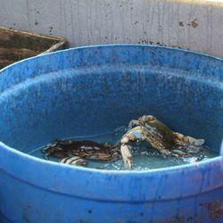 Pontchartrain Blue Crabs