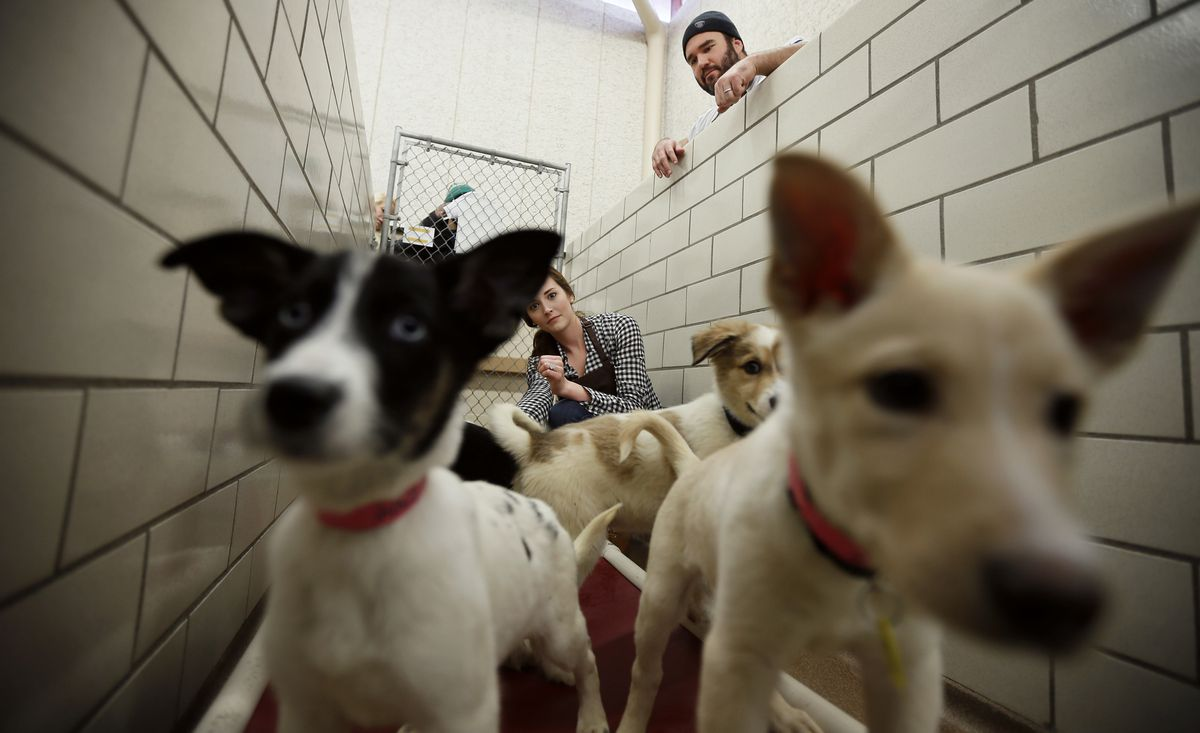 Minnesota Vikings center John Sullivan and his wife Ariel Sullivan played with puppies at the Animal Humane Society Tuesday November 18, 2014 in Golden Valley, Minnesota.] Animal Planet, Minnesota Vikings and Animal Humane Society teamed up to score pet a