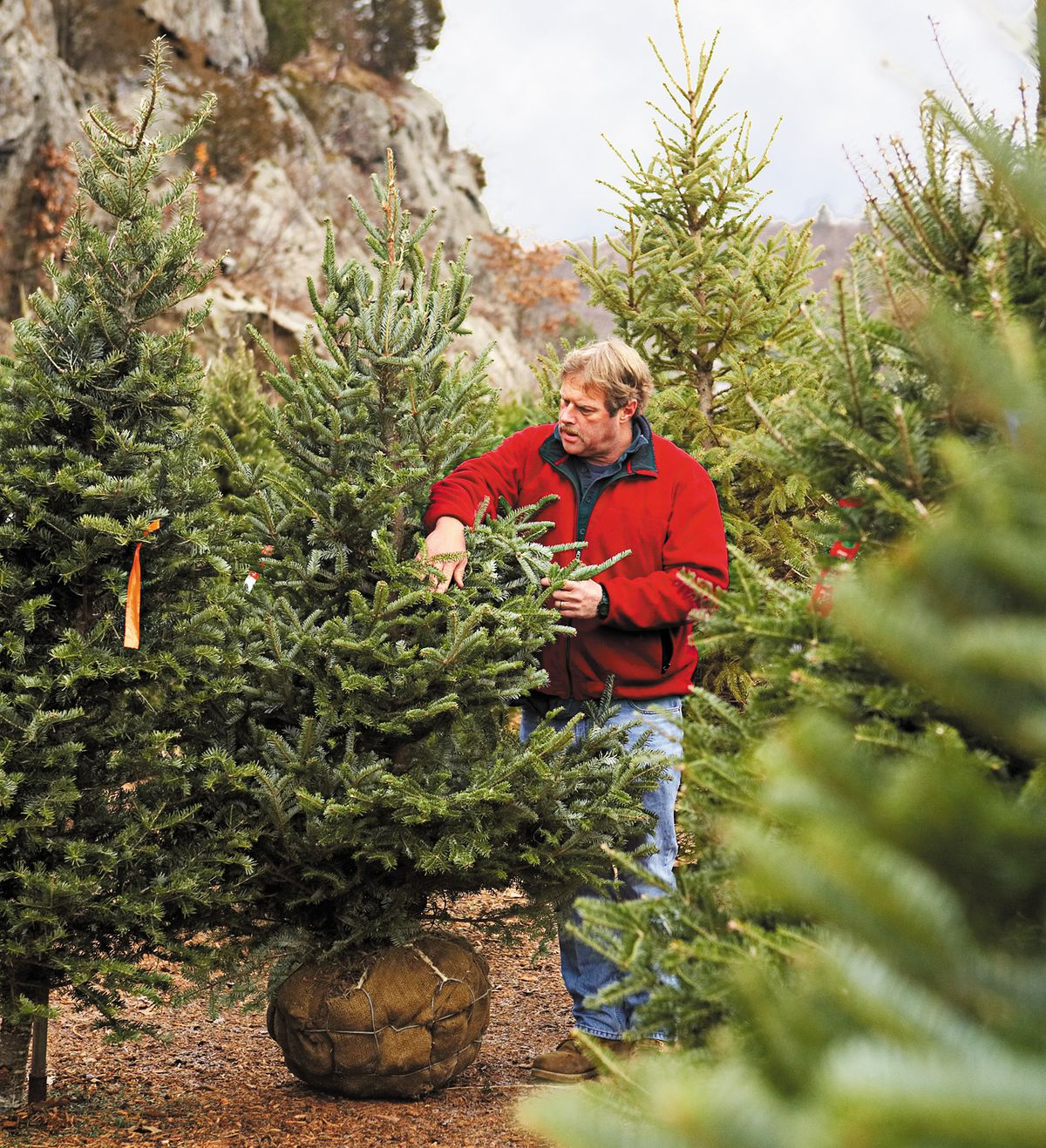 Choose a Live Christmas Tree - This Old House