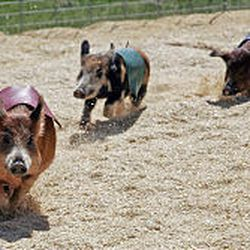 Several of Cook's Racing Pigs, left, round the final corner during a show at the State Fair Saturday. Spectators can place free bets on the red, yellow, blue or green flag-adorned pig. The race is over in about 10 seconds.