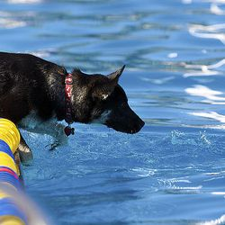 A dog splashes its paws in the water to try and get a tennis ball. Dogs had a chance to swim as part of the 4th annual Wag, Walk and Swim event at the pool Saturday.