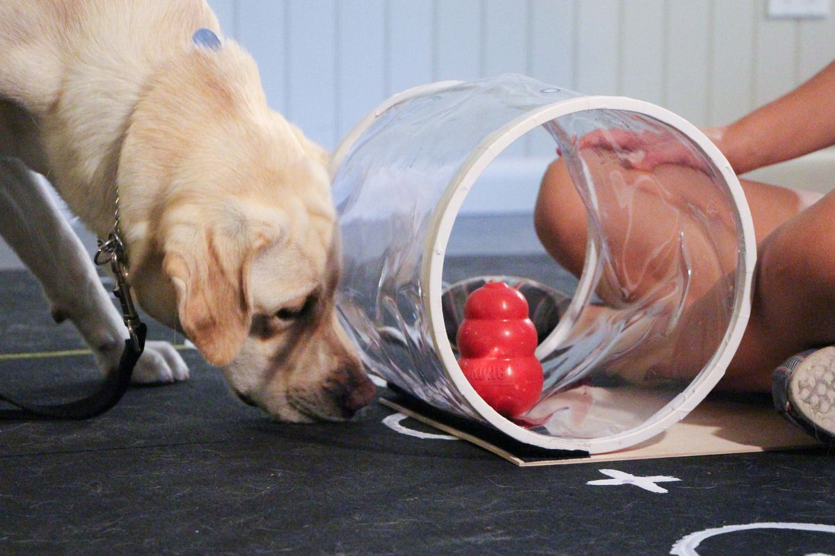 This dog isn't doing so hot in this problem-solving test from the study. They taught it how to get to the red toy with a treat inside, but the dog is trying to get through the cylinder anyway. Silly dog.