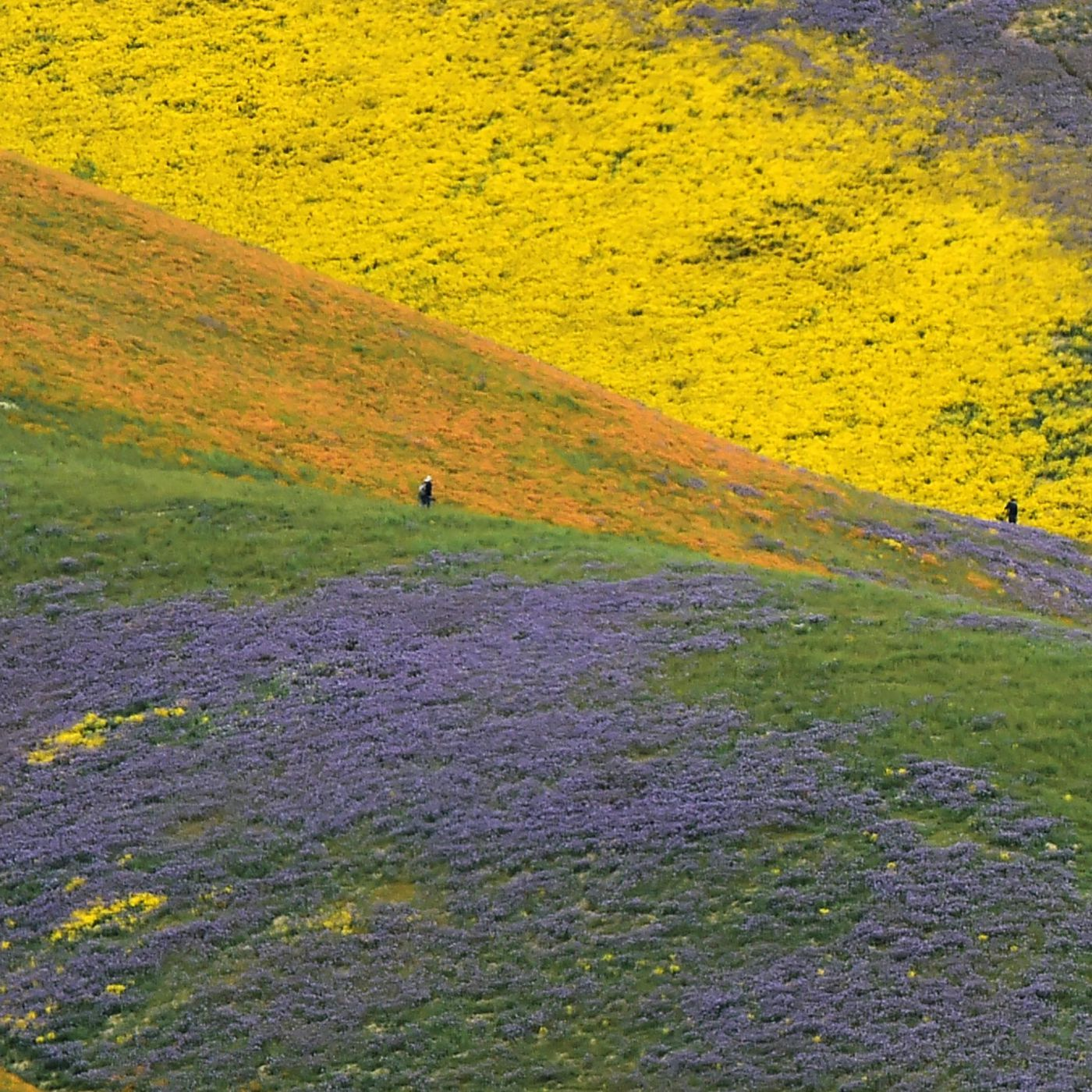Photos The Super Bloom In Californias Desert After The Drought Vox