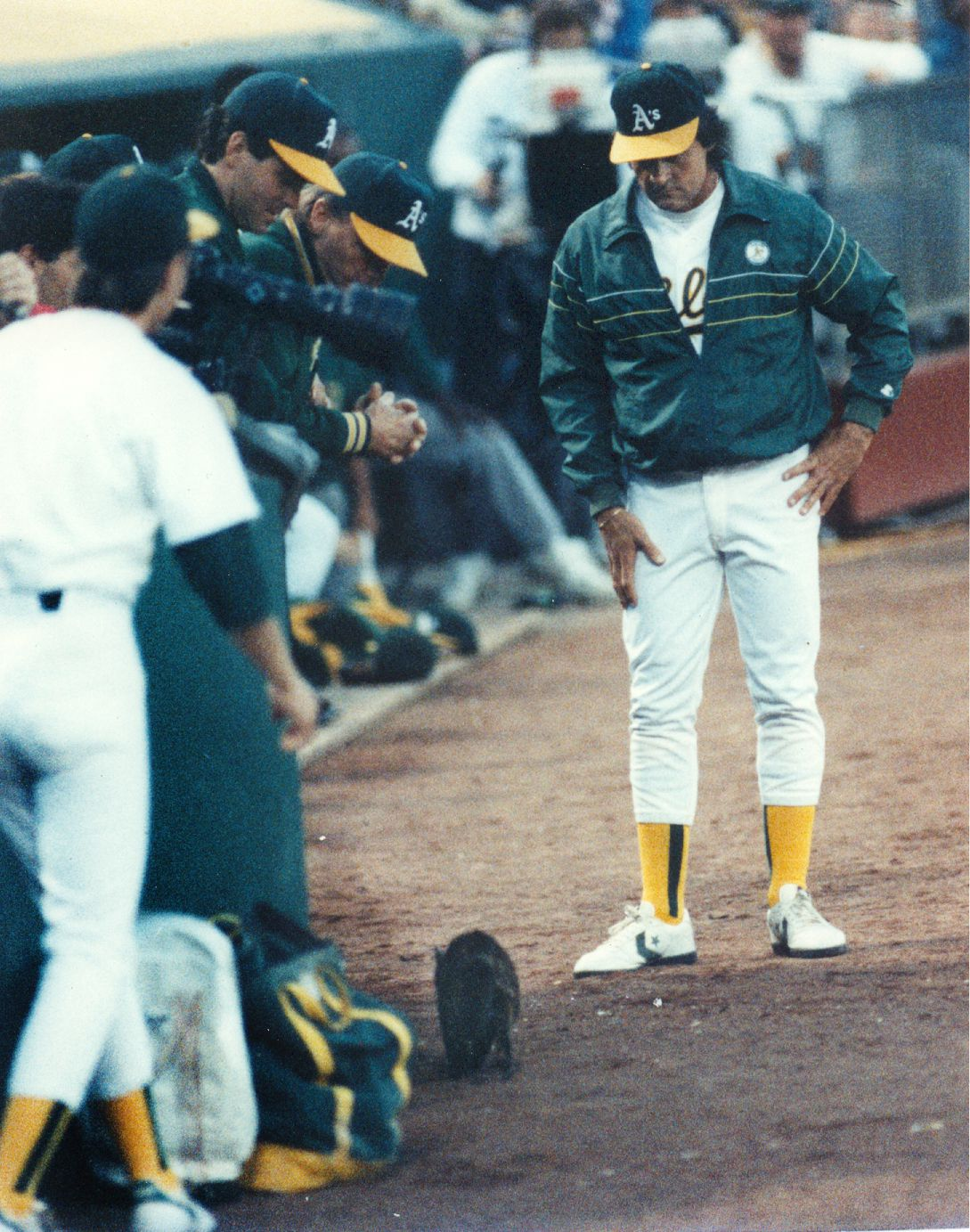 A's manager Tony LaRussa looks down at the cat that stopped play during a game between the A's and the Yankees at the Oakland Coliseum on May 7, 1990. LaRussa ended up herding the cat into the team's dugout bathroom.
