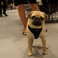 Cute pug shopping