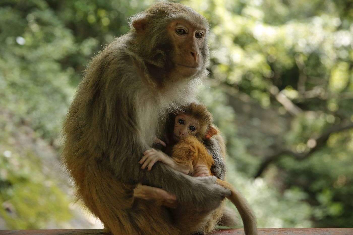 Chinese scientists added human brain genes to monkeys - Vox